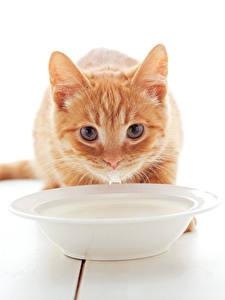Bilder Katze Milch Weißer hintergrund Kätzchen Fuchsrot Blick Teller Tiere