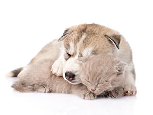 Pictures Dogs Cats White background Puppy Kitty cat Husky Siberian Husky Animals