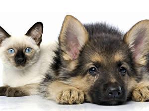 Bilder Hunde Katze Weißer hintergrund Zwei Shepherd