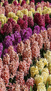 Bilder Hyazinthen Viel Großansicht Blumen
