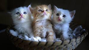 Fotos Katze Katzenjunges Weidenkorb Drei 3 Weiß Fuchsrot