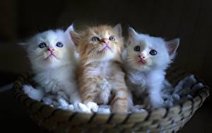 Fotos Katze Katzenjunges Weidenkorb Drei 3 Weiß Fuchsrot ein Tier