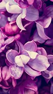 Hintergrundbilder Makro Hautnah Flieder Violett Blumen