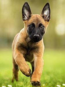 Hintergrundbilder Hunde Welpen Laufen Shepherd Belgischer Schäferhund