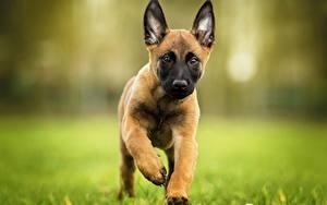 Hintergrundbilder Hunde Welpe Laufen Shepherd Belgischer Schäferhund