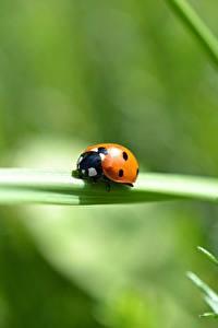 Desktop hintergrundbilder Großansicht Insekten Marienkäfer Bokeh ein Tier