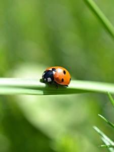 Fonds d'écran En gros plan Insectes Coccinelles Bokeh un animal