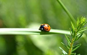 Hintergrundbilder Großansicht Insekten Marienkäfer Bokeh ein Tier