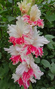 Fotos Gladiolen Großansicht Blumen