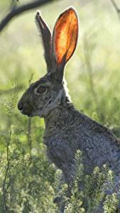 Bilder Hasen Bokeh Gras Ast ein Tier