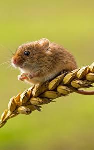 Fotos Mäuse Großansicht Ähren harvest mouse Tiere