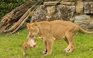 Hintergrundbilder Große Katze Löwe Jungtiere Löwin 2 Tiere