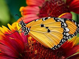 Hintergrundbilder Großansicht Schmetterlinge Monarchfalter ein Tier