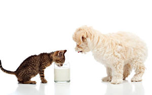 Images Dogs Cat Milk Maltese White background Kittens Puppies Highball glass Two Animals