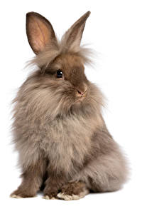 Picture Rabbits White background Sitting Animals