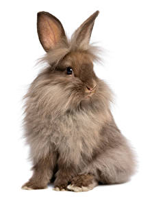 Hintergrundbilder Kaninchen Weißer hintergrund Sitzend ein Tier