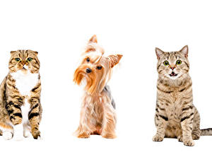 Pictures Cat Dogs White background Yorkshire terrier Three 3 Animals