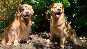 Fotos Hund Golden Retriever 2 Tiere