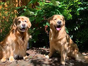 Fotos Hunde Golden Retriever 2 Tiere