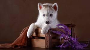 Image Dog Husky Puppy Staring Paws Animals