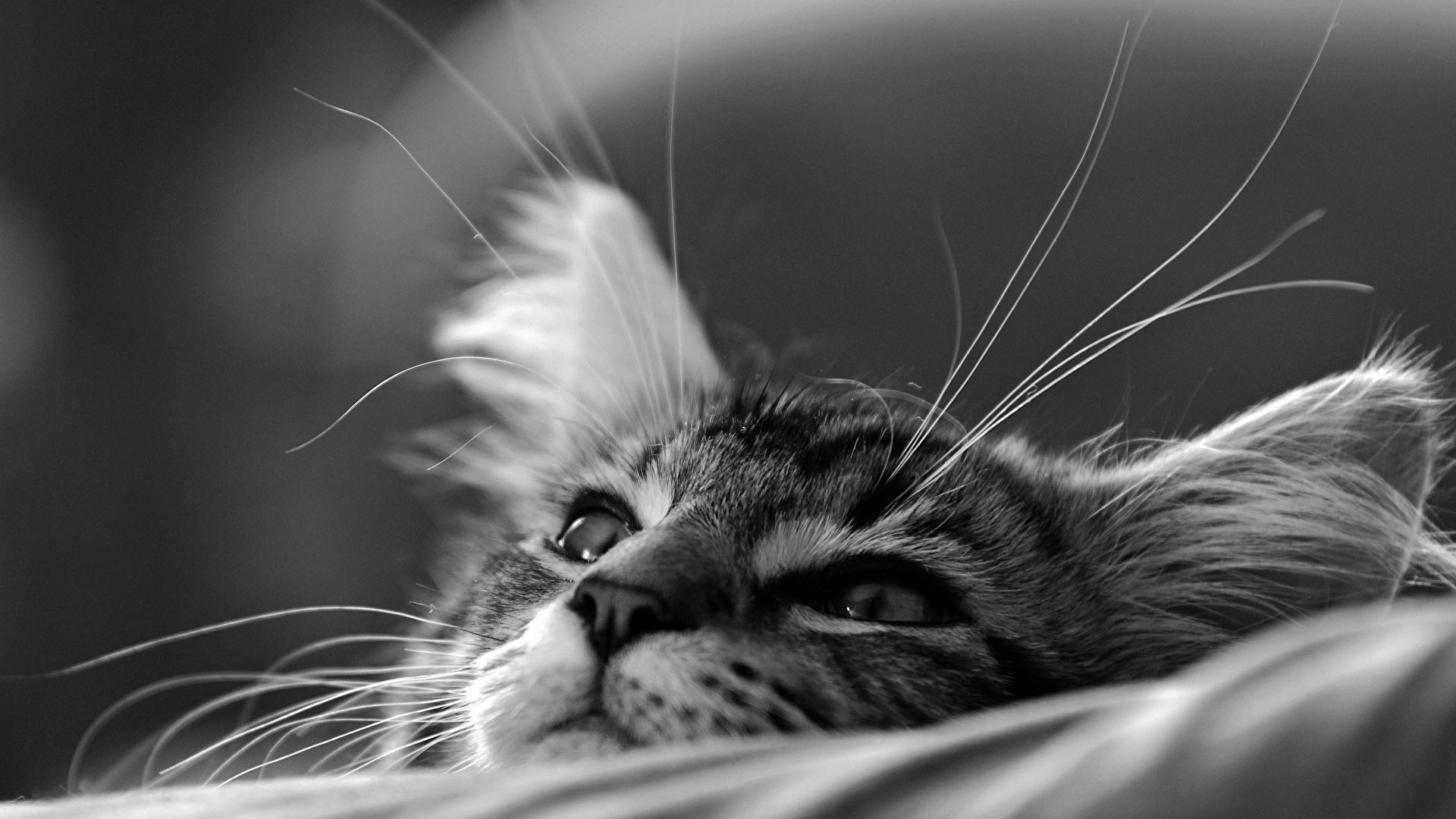 壁紙 19x1080 飼い猫 クローズアップ 子猫 白黒 の洞毛 動物のスナウト 動物 ダウンロード 写真