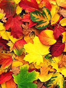 Bilder Herbst Textur Blatt Ahorn Natur