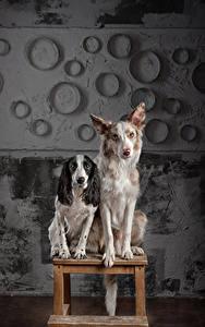 Bilder Hunde Border Collie Spaniel Zwei Sitzend Blick Russian Spaniel Tiere