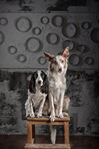 Bilder Hunde Border Collie Spaniel 2 Sitzend Starren Russian Spaniel Tiere