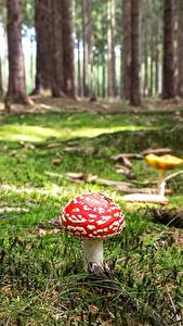 Image Forests Mushrooms nature Amanita Moss Nature