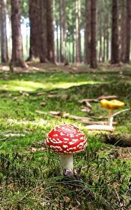Bilder Wälder Pilze Natur Wulstlinge Laubmoose