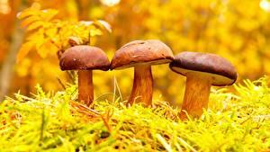 Hintergrundbilder Pilze Natur Drei 3 Natur