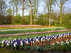 Fotos Niederlande Park Frühling Hyazinthen Tulpen Bäume Design Keukenhof Lisse Natur