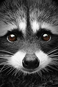 Fotos Waschbären Hautnah Augen Schnauze Blick Schnurrhaare Vibrisse Nase Tiere
