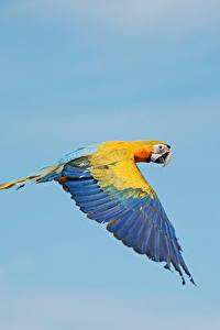Bilder Vogel Papagei Eigentliche Aras Flug ein Tier