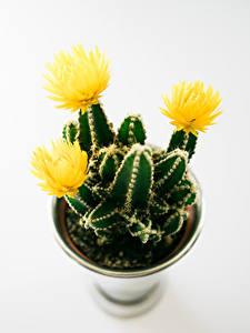 Bilder Kakteen Weißer hintergrund Gelb Blumen