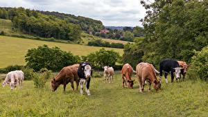 Hintergrundbilder England Grünland Kuh Viel Bradenham ein Tier