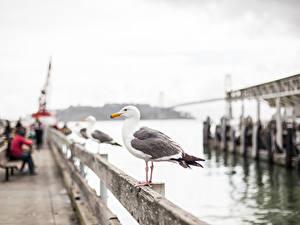 Fotos Vogel Möwe Vereinigte Staaten Unscharfer Hintergrund San Francisco Waterfront Städte