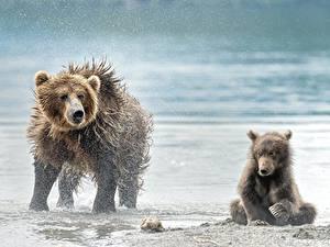 Bilder Bären Braunbär Jungtiere Zwei Spritzer Nass