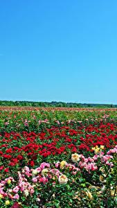 Hintergrundbilder Acker Rosen Viel Natur Blumen
