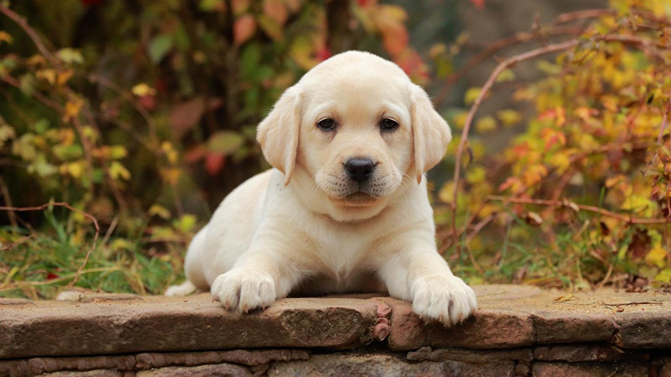 子犬 販売 ラブラドール
