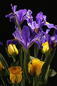 Bilder Rose Schwertlilien Großansicht Schwarzer Hintergrund Blumen