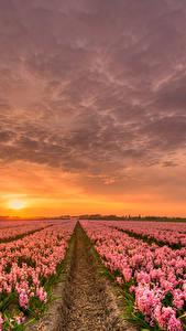 Fotos Niederlande Morgendämmerung und Sonnenuntergang Hyazinthen Viel Himmel Felder HDR Rosa Farbe Blumen