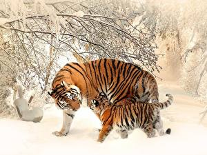 Fotos Winter Tiger Jungtiere Schnee Zwei