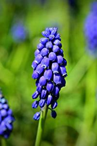 桌面壁纸,,特寫,散景,蓝色,grape hyacinth Muscari,花卉