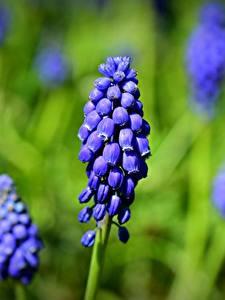 Photo Closeup Blurred background Blue grape hyacinth Muscari flower