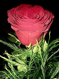 Bilder Rosen Großansicht Rot Blüte