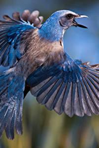 Bilder Vögel Flug Flügel Florida scrub jay ein Tier