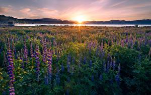 Bilder Vereinigte Staaten Sonnenaufgänge und Sonnenuntergänge See Lupinen Landschaftsfotografie Kalifornien Lichtstrahl Sonne Lake Tahoe