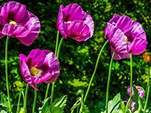 Hintergrundbilder Mohn Großansicht Violett Blumen