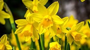 Hintergrundbilder Narzissen Hautnah Gelb Blüte